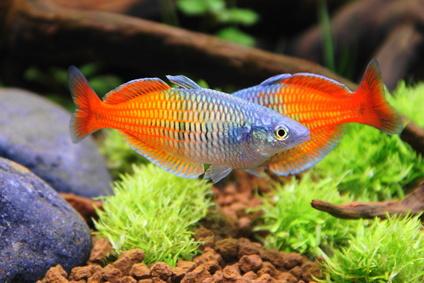 Aquaristik suche for Fische in teichen